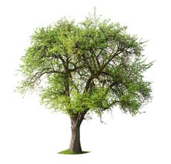 Isolated Apple Tree