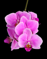pink orchid flowers isolated on black