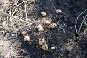 картошка,урожай,клубни