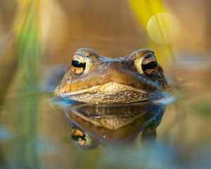 Macro shot of a toad in water