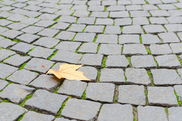 Single autumn maple yellow leaf fall on paved cobblestone paveme