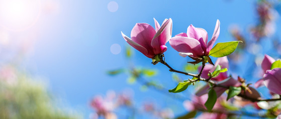 Photo sur Aluminium Magnolia magnolia tree blossom