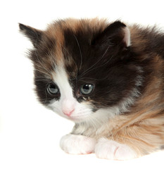 kitten, little cat isolated on white background