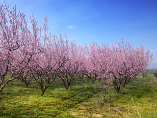 pink blossoms of peach trees in spring