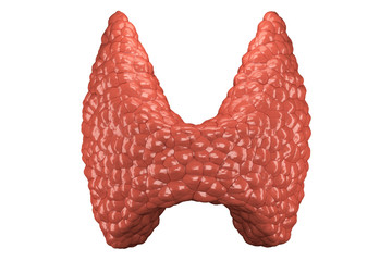 Thyroid gland isolated front view