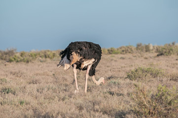 Ostrich in the Karoo National Park