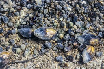 Сибирские моллюски в ручье