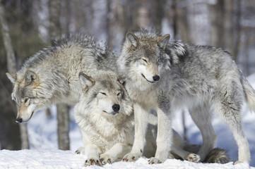 Photo sur Plexiglas Loup meute de loup gris