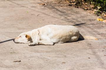 white dog (Thai dog) Sleep