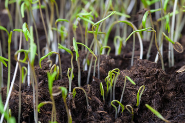 Small green shoots of spring grass over dark soil background