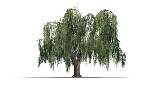 group weeping willow - isolated on white background
