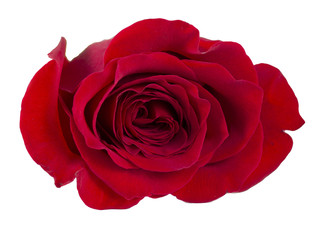 Isolated Red Rose on white