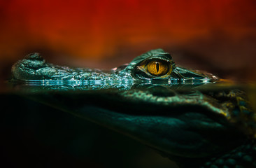 Photo sur Plexiglas Crocodile crocodile alligator close up