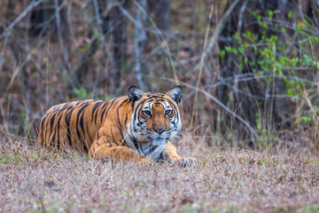 Tiger stalking in forest
