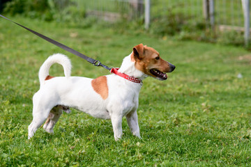 Jack Russell dog walking on lead in park