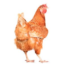 full body of brown chicken hen standing isolated white backgroun