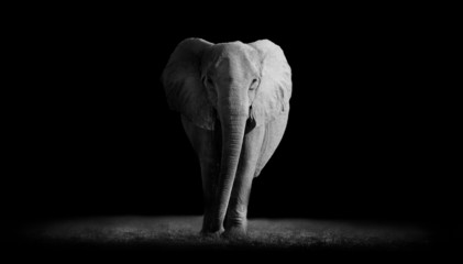 Wall Mural - Elephant  with dark background