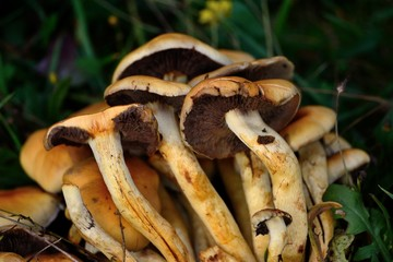 Brown yellow mushrooms close up