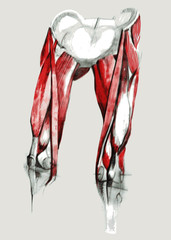 Hip and leg muscles