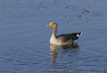Greylag Goose swimming.