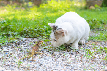 White cat fighting with lizard in the garden