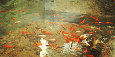 Small orange fishes in the small man made pond - vintage effect.