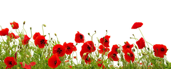 Fotorollo Mohn red poppy