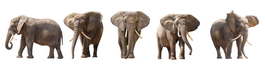 Fotorolgordijn Olifant African elephants isolated on white
