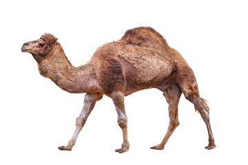 Tuinposter Kameel Camel isolated on white
