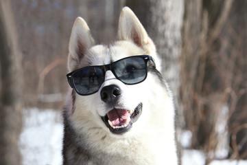 Siberian Husky - top model