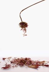 Semillas y pétalos