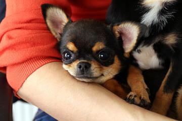 Cute chihuahua puppies on female hands, closeup