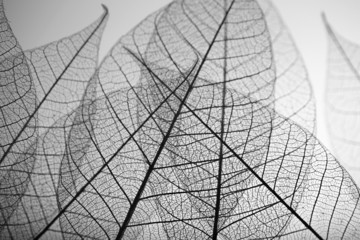 Zelfklevend Fotobehang Decoratief nervenblad Skeleton leaves on grey background, close up