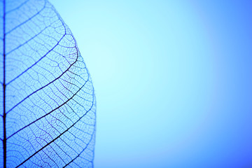 Skeleton leaf on blue background, close up