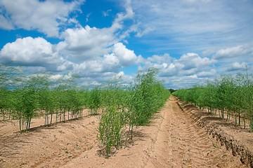 Plantation of asparagus