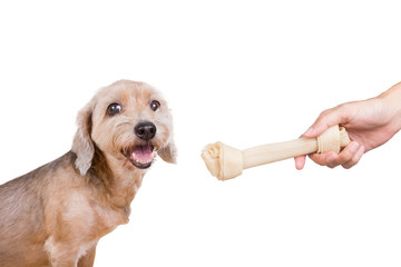 dog getting a dogbone ,isolated on white background