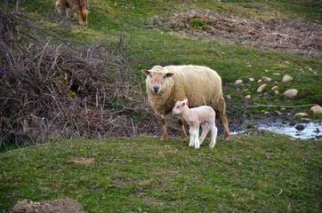Mouton et agneau