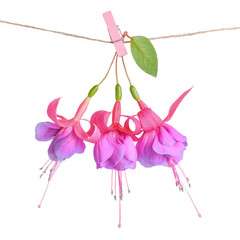 fuchsia flowers handing on rope with clothespin is isolated on w