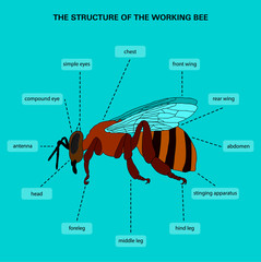 The structure of the working bee