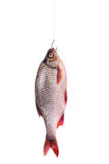 Fresh raw fish on a hook, isolated on white, clipping path
