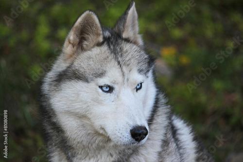 portrait d 39 un loup aux yeux bleus photo libre de droits sur la banque d 39 images. Black Bedroom Furniture Sets. Home Design Ideas