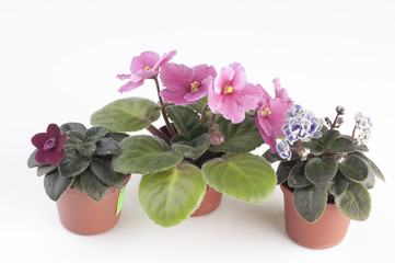 African violet plants over white background