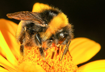 The bumblebee is drinking the nectar of the flower of the flower