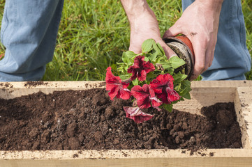 Man planting some red surfinias outside in the garden