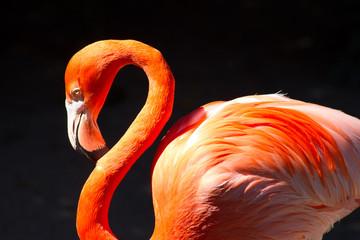Pink Flamingo portrait on black background