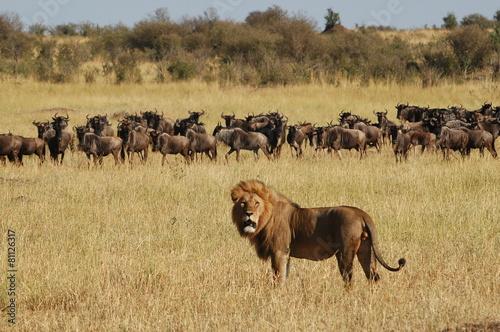 Lion hunts wildebeests at African savannah