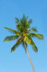 Green palm tree.