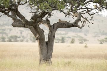 Deurstickers Bestsellers Tanzania Serengeti National Park leopard