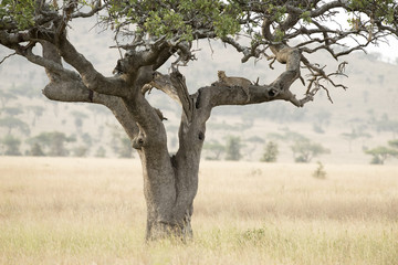 Canvas Prints Bestsellers Tanzania Serengeti National Park leopard