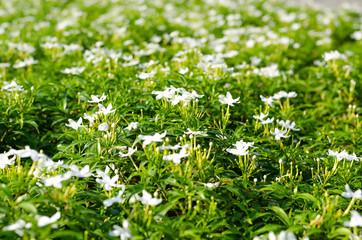 Inda Flower-02